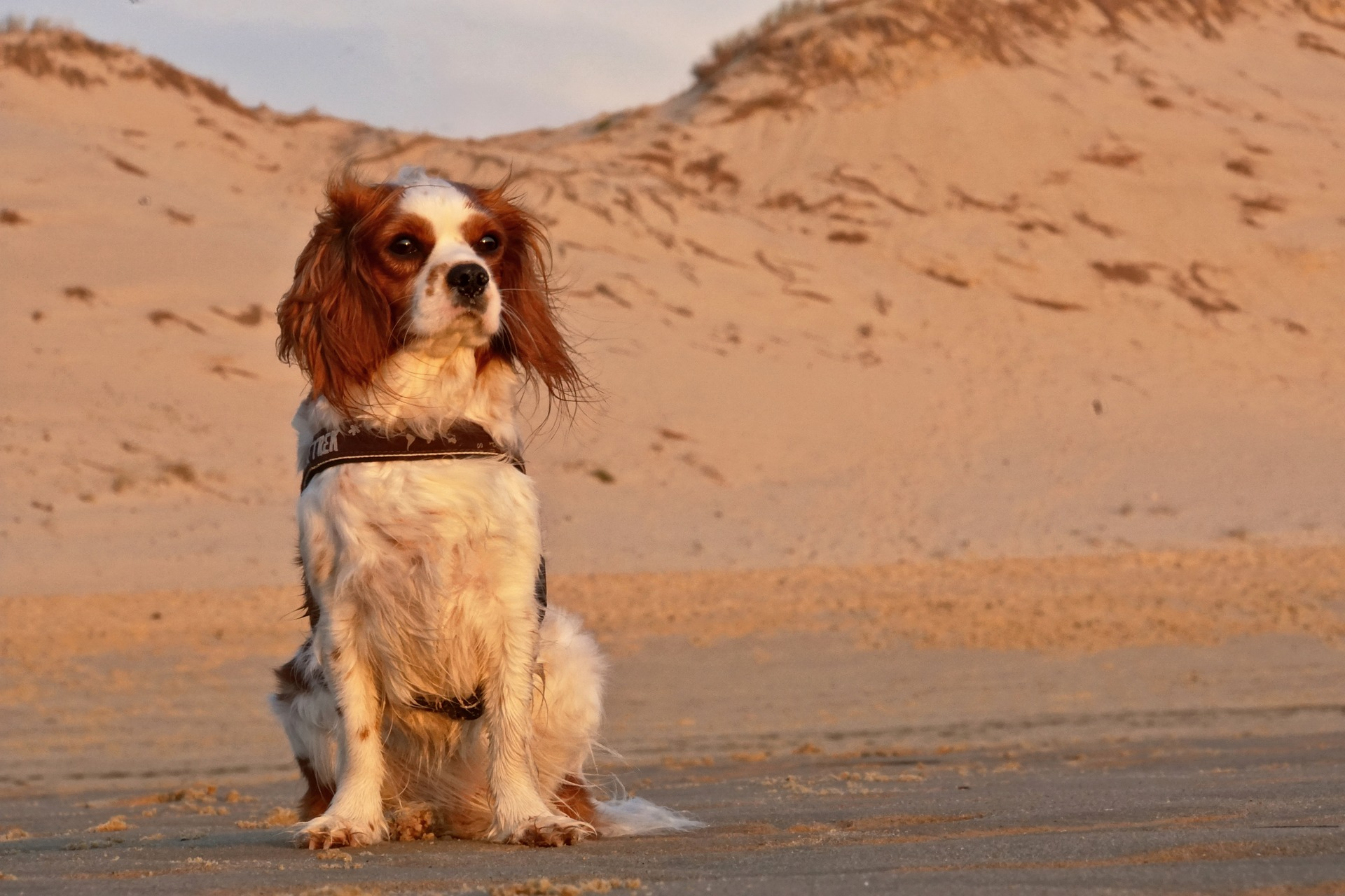 כלב קינג צ'ארלס
